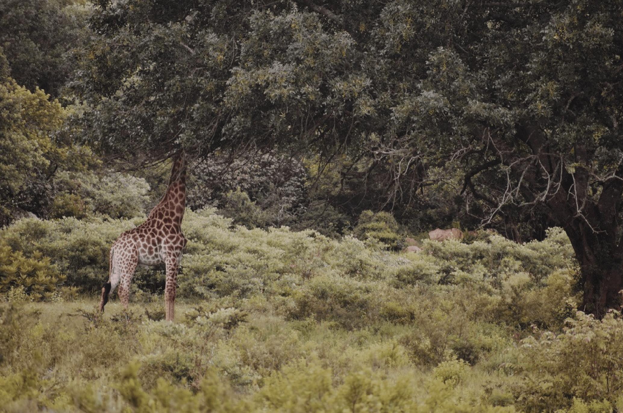GIRAFFE IN TREE-01-min